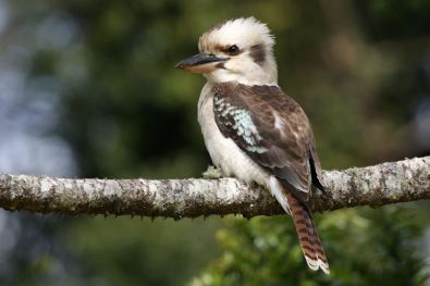 laughing kookaburra 01